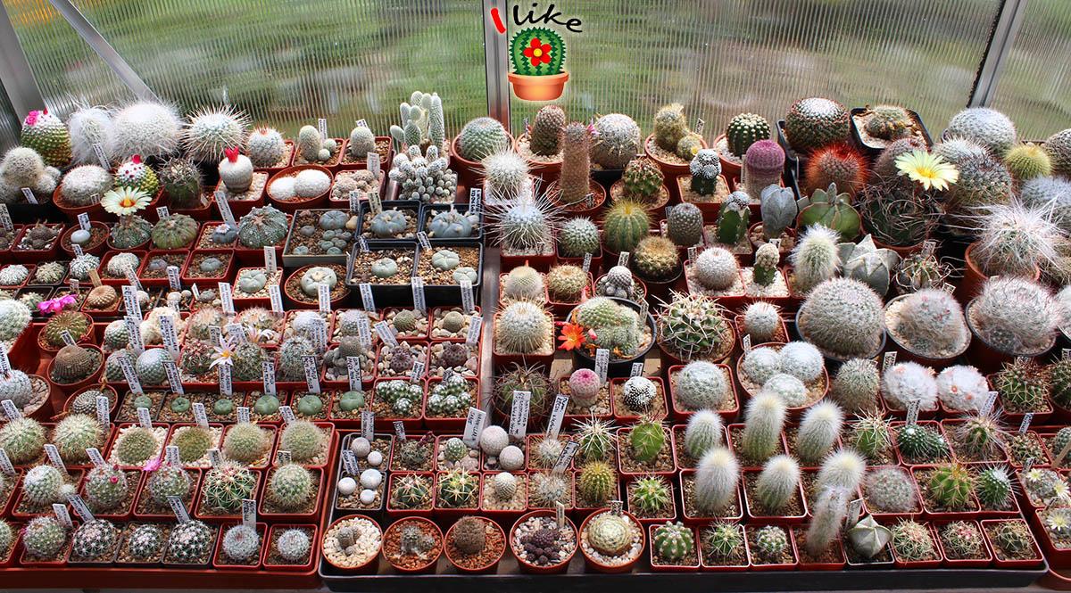kaktusy sbírka