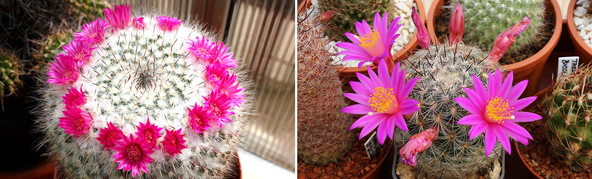 Vše ze světa kaktusů, rady, inspirace, fotky, návody a mnohem více...