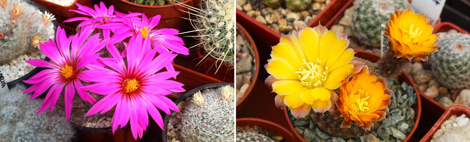 Jak často zalévat kaktusy?