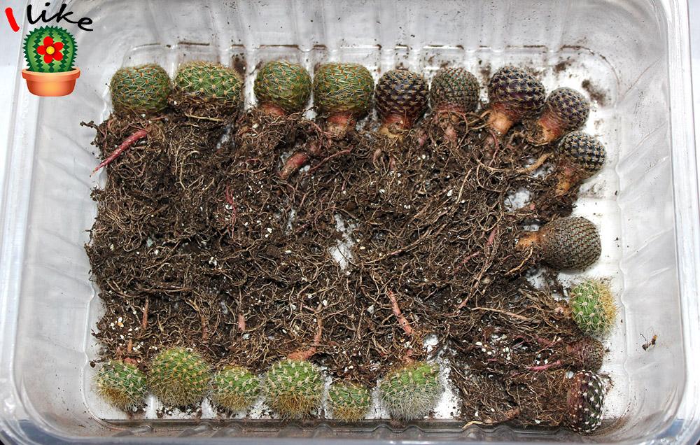 kaktusy zimování