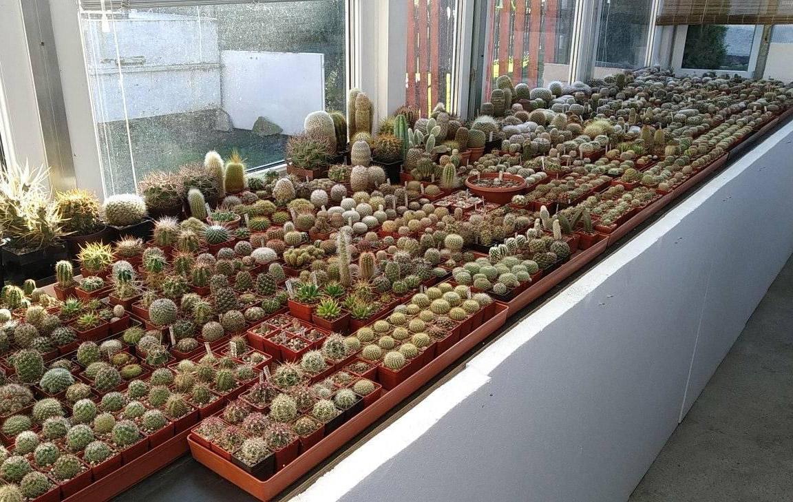 Zimování kaktusů ve skleníku